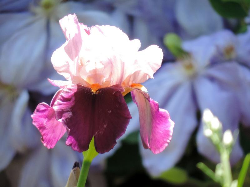 Les grands Iris de Mai...