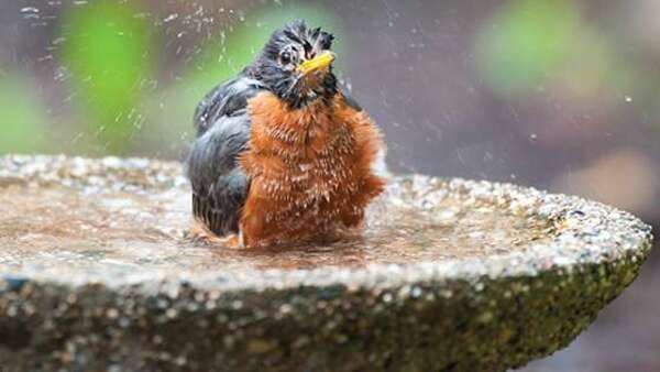 Grosses chaleurs : pensez à donner de l'eau aux oiseaux !