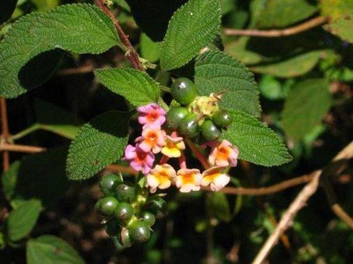 Fleur de Poivre - Kumily - | Photo