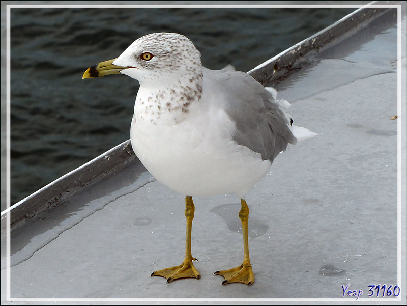 10 septembre 2016 : direction Thousand Islands (Les Mille-Îles) - Goéland à bec cerclé, Ring-billed Gull (Larus delawarensis) - Gananoque - Ontario - Canada