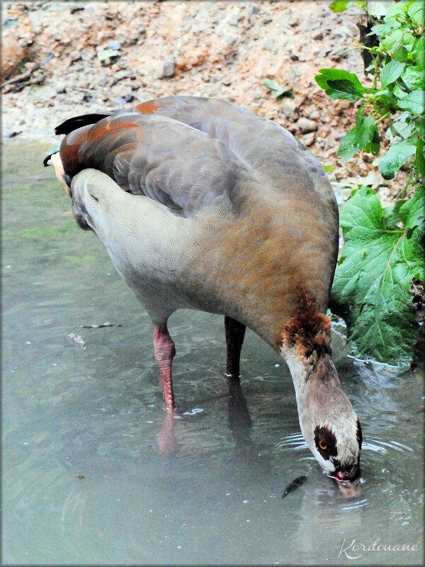 Oie d'Egypte (Zoo de Doué la Fontaine)