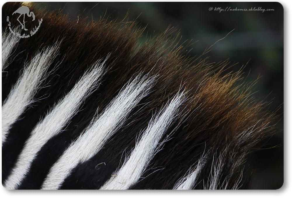 Zebre...