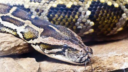 Le python fugueur de Rennes a été retrouvé entre deux immeubles