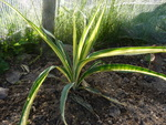 yucca  color guard filamentosa