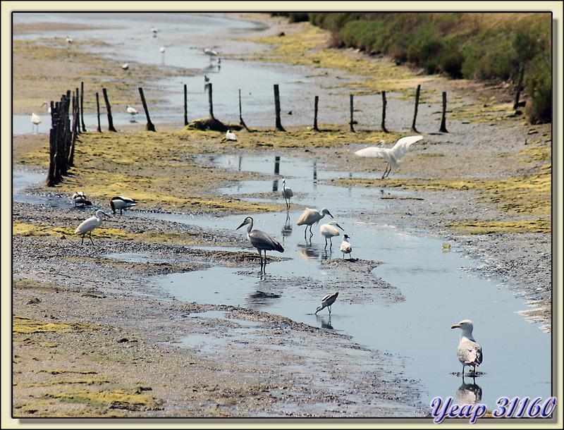 Au moins 6 espèces d'oiseaux présentes : la soupe doit être bonne ! - Loix-en-Ré - Ile de Ré - 17