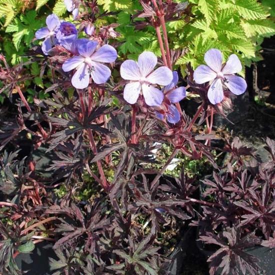 Geranium pratense Dark Reiter
