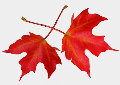 Tubes png feuilles