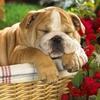 Bulldog Anglais au sommeil