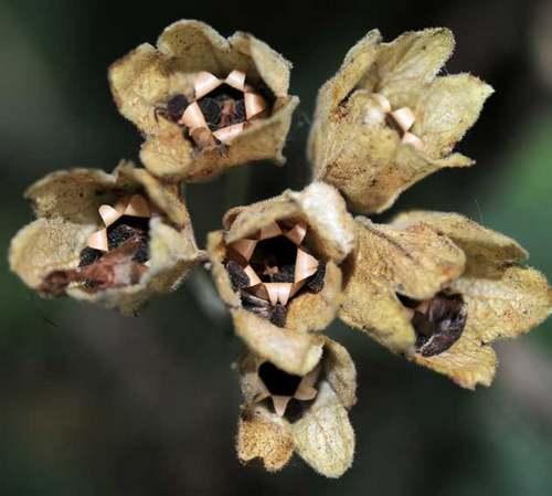 Vertus médicinales des plantes sauvages : Primevère officinale