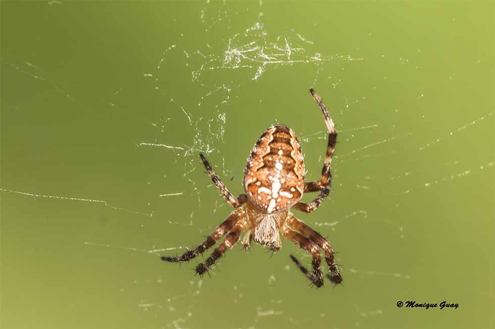 Araignée accrochée
