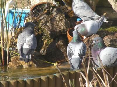 Pigeons volent