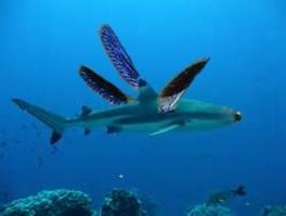 un requin-libellule