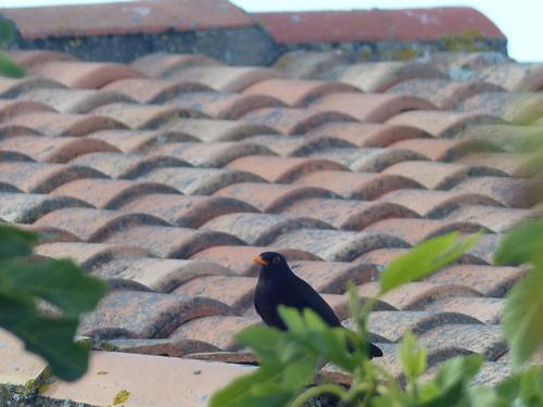 Les oiseaux de l'Ile de Ré ..