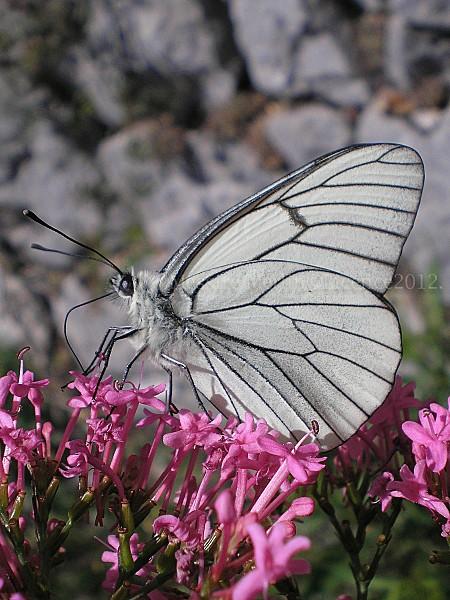lilas-papillon.jpg