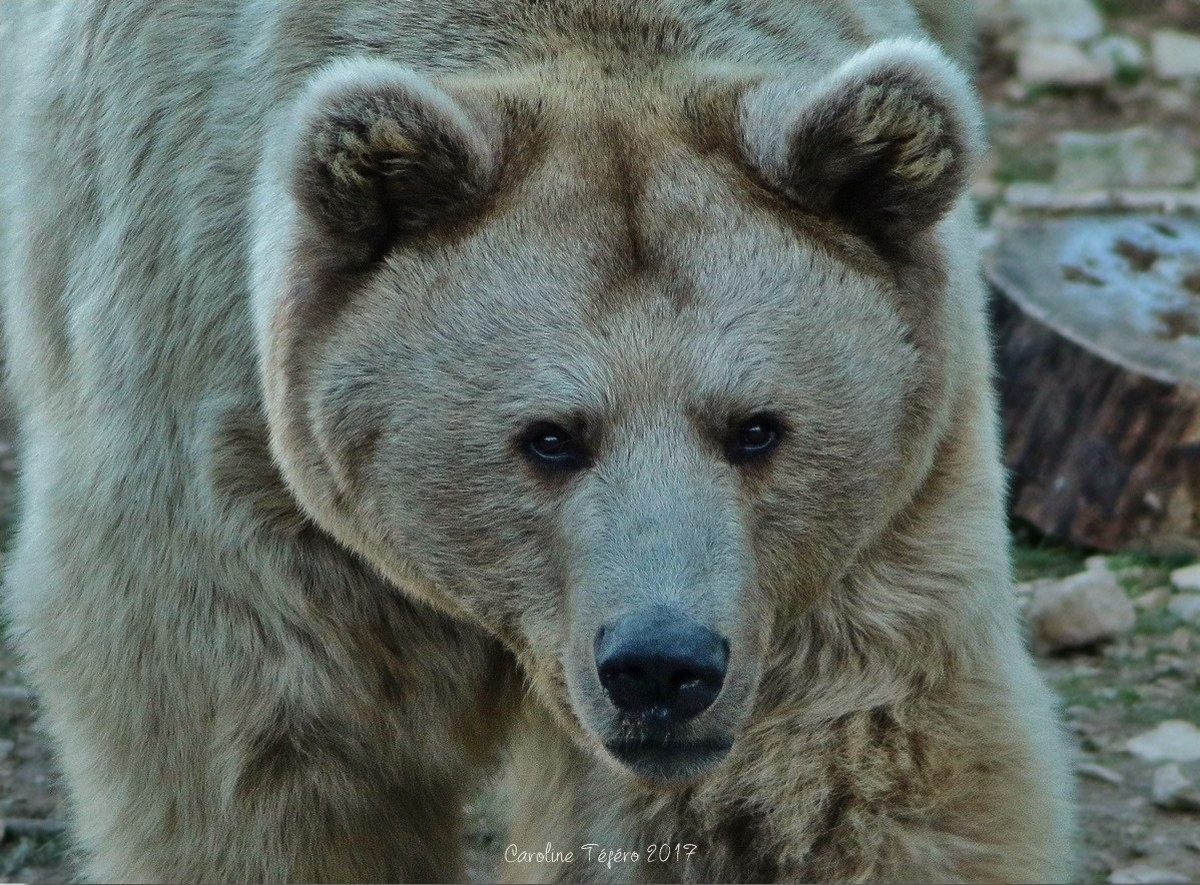 Portraits de l'Ours de Syrie
