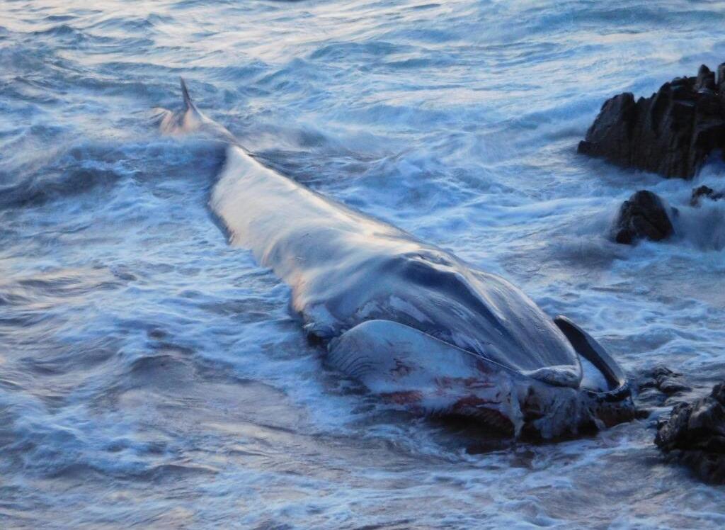 Des prélèvements sur la baleine échouée vont être pratiqués ce mardi pour connaître les raisons de ces blessures (© René Rostan)
