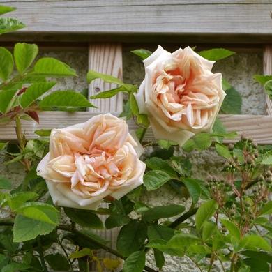 Je vous envoie sur les roses...