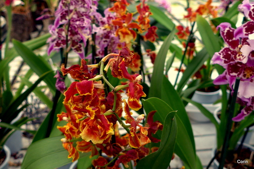 Les belles orchidées ... (2)