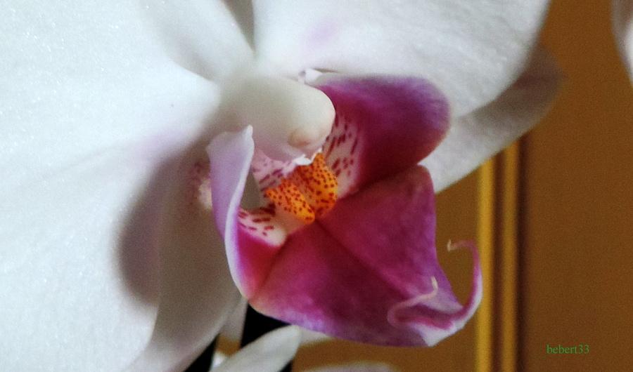 une orchidée en fleurs