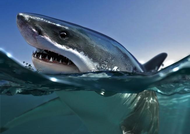 Hommage à la mer *Le requin tigre