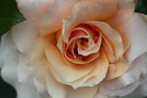 Une nouvelle rose dans le jardin