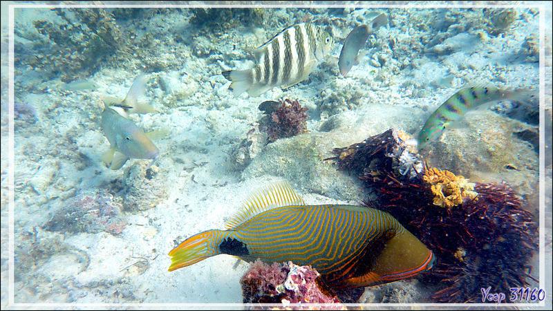 Baliste strié ou ondulé (Mâle), Orange-lined or Undulate triggerfish (Balistapus undulatus) - Moorea - Polynésie française