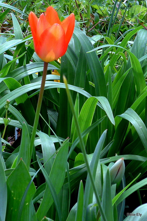 Belles tulipes (1)