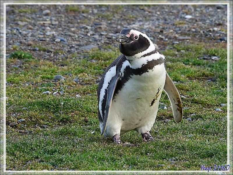 Manchots de Magellan (Spheniscus magellanicus) - Île Magdalena - Patagonie - Chili