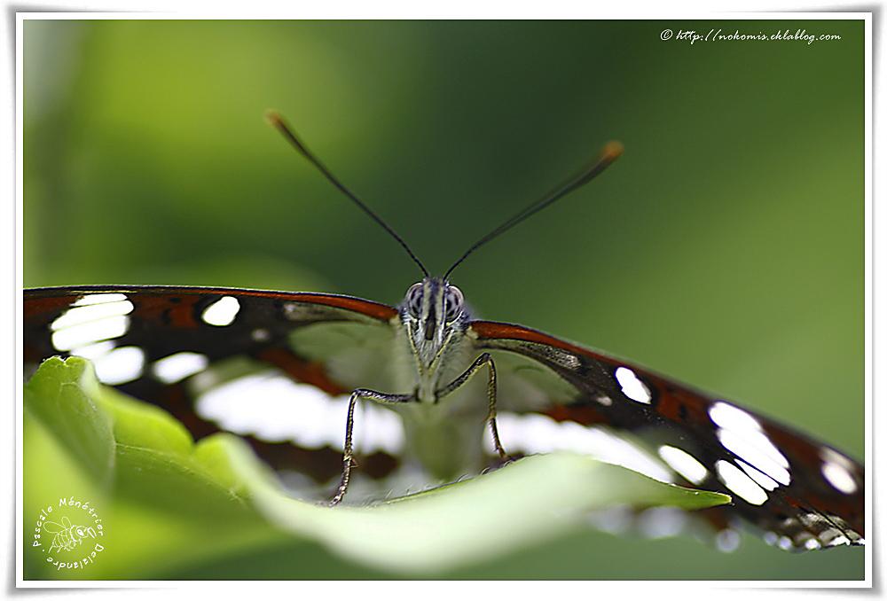 Sylvain azuré - limenitis reducta - Nymphalidae