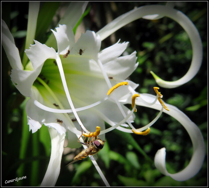 Lys araignée, jonquille du Pérou