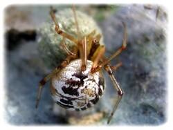 Phylloneta sp