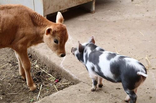 (-*♥*-) Ce veau malade allait être euthanasié, jusqu'à ce qu'il rencontre une cochette qui a changé sa vie