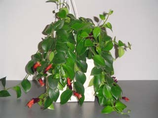 aeschynanthus.lobbianus