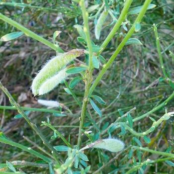 Rameaux et feuilles de genêts purgatifs