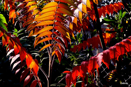 Le sumac en automne