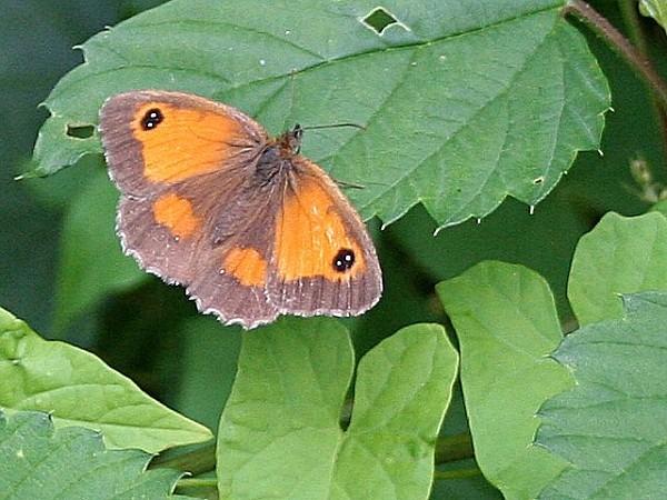 Gatekeeper Butterfly - geograph org uk - 214455