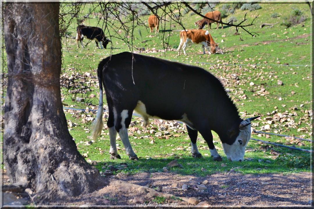 Dans la prairie, des vaches.