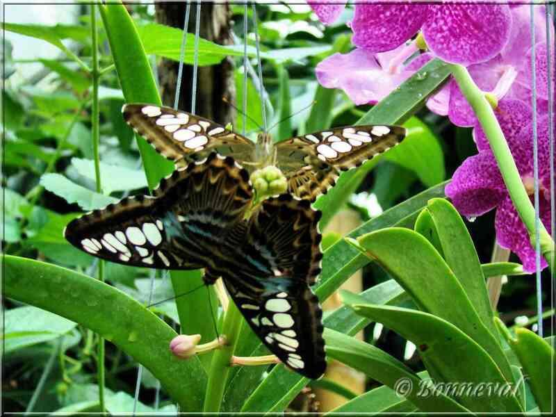 Papillons tropicaux Parthenos silvia lilacinus