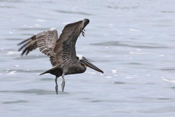 Pélican brun - Pointe-Noire
