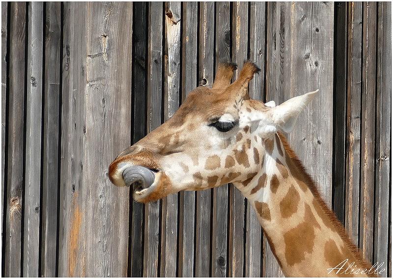 Les girafes du parc de la Tête d'Or