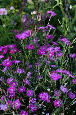 Des compagnes pour mes roses : Dianthus superbus