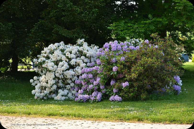 Rambouillet : Les derniers Rhododendrons