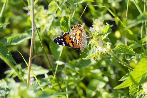 Papillon La Belle-Dame ( Vanessa cardui )
