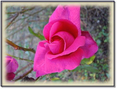 rose-jardin-11-3.jpeg