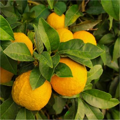 Photo de Citronnier - Citrus limon