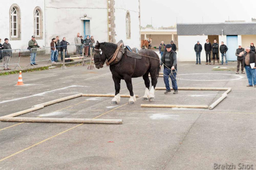 Le cheval breton guidé par la voix voix de son maître