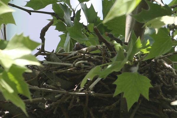 Oiseaux nicheurs de Paris : premières naissances !
