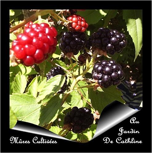 mures-cultivees.jpg
