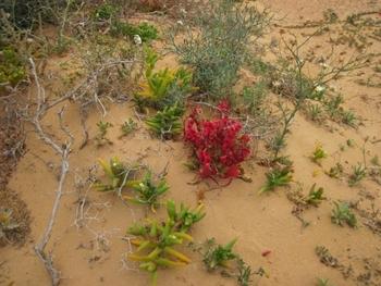 441 Sahara Occidental Désert fleuri