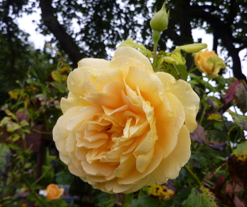 mes roses de septembre